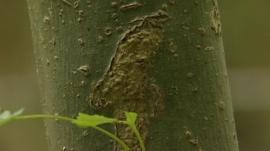 Disease threat to UK's ash trees