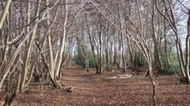 Trees affected by suspected case of Chalara fraxinea fungus