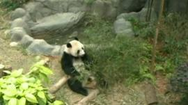 One of the pandas at Singapore's River Safari zoo