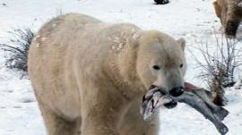 Polar bear carrying fish