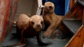 Sea lions in Peru returned to the wild