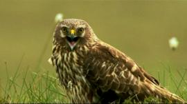 A hen harrier in a field