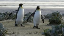 Penguins on Falklands Islands - file photograph