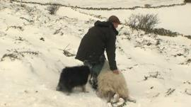 Rescuing a sheep