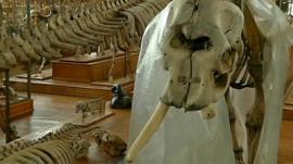 Elephant skeleton with missing tusk