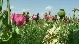 Afghan opium poppy field