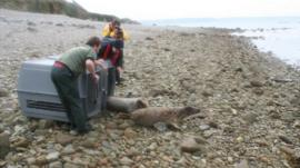 Seal pups being released on Jethou by GSPCA