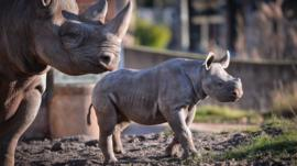 Rhino mother and baby at Chester Zoo (C) Chester Zoo