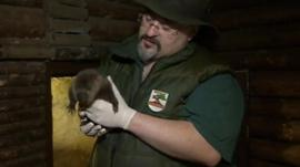 It is hoped the beaver will be released into the wild in Wales