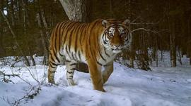 A Siberian snow tiger caught on camera