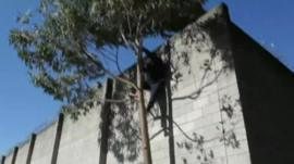 A man, believed to be a prisoner, climbing down a tree