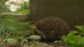 Hedgehog in allotment