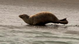 Seal in Thames estuary