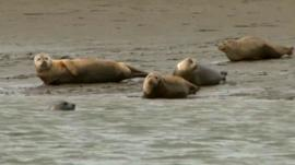 Seal colony in Thames Estuary