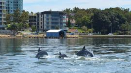 Dolphins in the Swan Canning Riverpark in Perth, Western Australia