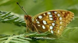 High brown fritillary butterfly