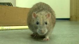 Sniffer rat