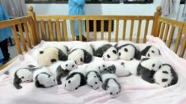 Panda cubs in a cot