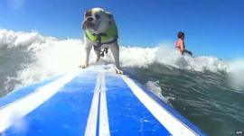 A dog surfing