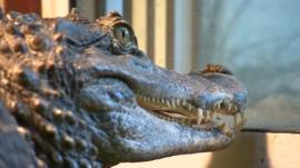 Caesar the Crocodile
