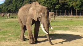 Elephant at Knowsley Safari Park