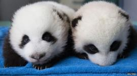 Panda twin cubs at Atlanta zoo