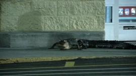 Alligator outside a supermarket