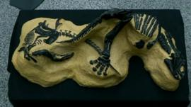 Two fossilised dinosaur skeletons