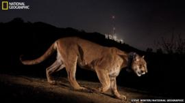 Cougar in front of the Hollywood sign in Los Angeles