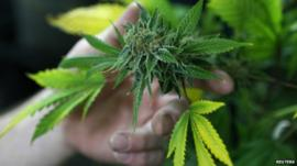 Person holding a cannabis plant