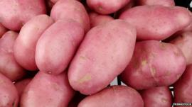 Genetically modified potatoes
