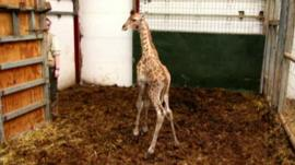 Baby giraffe at Cumbria zoo