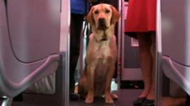 A trainee guide dog