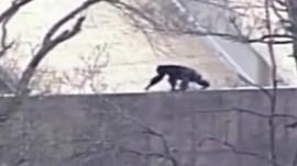 An escaped chimpanzee at Kansas City Zoo