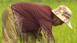 Rice picker in Thailand