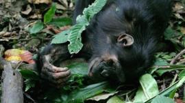 Wild chimpanzee (c) Catherine Hobaiter