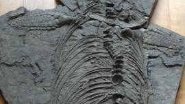 Fossil of ichthyosaur