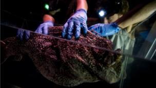 A taxidermist prepares a specimen of a deep-sea anglerfish for the exhibition