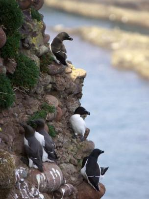 Guillemots on a cliff edge