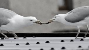 Two seagulls clasp a stick