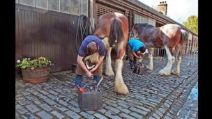 Farriers shoe Clydesdale horses