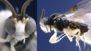 A close up of the eyes of a parasitic wasp.