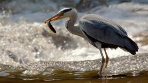 Heron with a fish in its beak