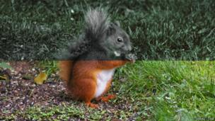Red squirrel through a squirrel's eyes (top) and human eyes (bottom)