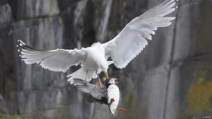 Herring gull and puffin (c) Amanda Hayes / BWPA