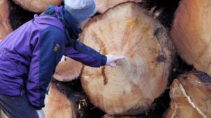 Helen counting rings on a felled tree