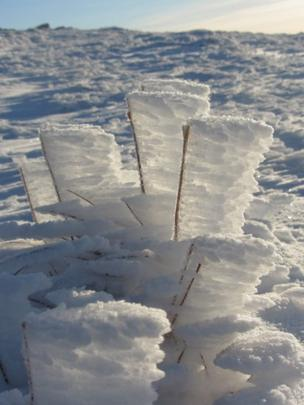 Snow on blades of grass