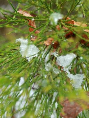 Snow melting off a tree