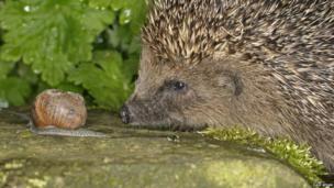 Hedgehog watches a snail