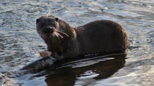 Otter eating a salmon
